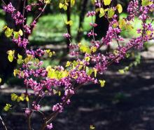 flowering branches, spring