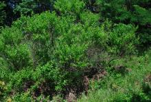 plant habit, early summer  (Dyck Arboretum of the Plains, Hesston, KS)