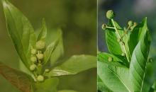 emerging flower clusters (May, June)