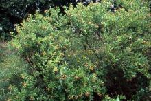 plant habit, fruiting (Dyck Arboretum of the Plains)