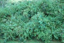 plant habit, summer fruiting