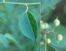 leaf and immature fruit