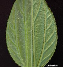 leaf surface and margin