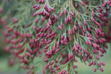 male cones, spring