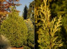 plant habit and branchlets