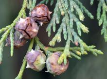 maturing cones, late fall