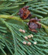 mature seed cones & immature male cones