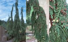 plant habit, branch and branchlets