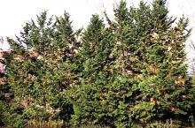 plant habit, several trees
