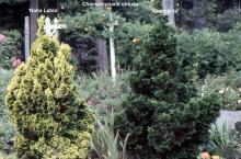 plant habit, 'Nana Lutea' vs. 'Compacta'