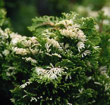 white tips of branchlets
