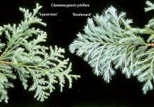 branchlets, comparison with'Squarrosa'