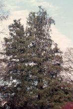 plant habit, large older tree