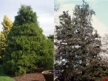 plant habit, medium and older aged