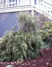 plant habit, shaded site