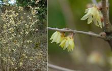 plant habit, winter flowering