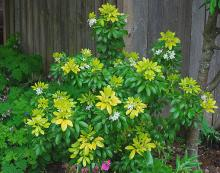 plant habit, flowering, deep shade