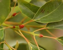 buds and leaves