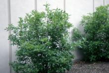 plant habit, early summer