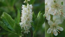 leaves, flower cluster and flowers
