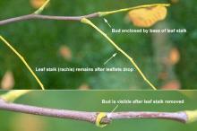 leaf stalk and bud, fall