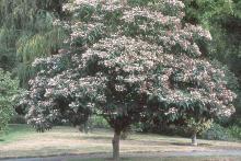 tree form, flowering