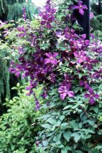 plant habit, mid-summer