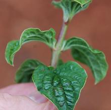 leafy shoot tip
