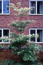 tree habit, flowering