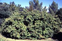 plant habit, fruiting (Dyck Arboretum of the Plains, Hesston, KS)