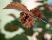 fruit cluster, late summer