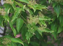leaves and developing fruit clusters