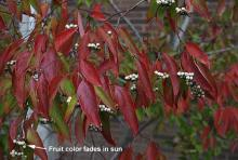 leaves and fruit, late fall