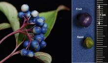 fruit cluster, fruit and seed