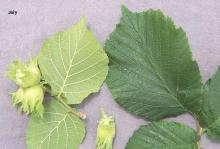 leaves and developing fruit
