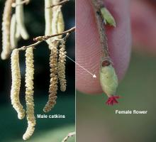flowers; female, male catkins
