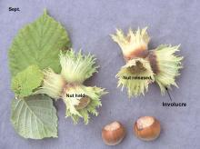 leaves, involucare, and fruit (nut)