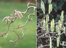 branches and immature catkins, winter