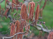 catkins and branches