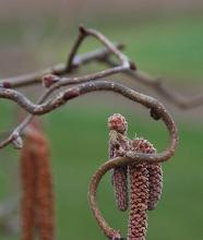 twisted branches and catkins