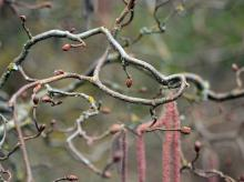 contorted branchlets
