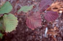 leaves, late June