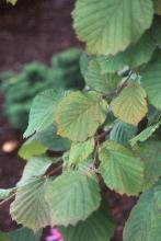 leaves, mid-September