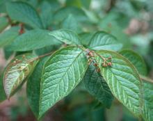 leaves and developing flowers
