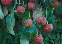 ripe fruit and leaves