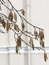 winter, male catkins