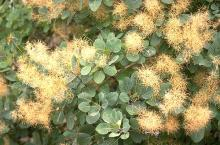 leaves and flower clusters, late summer