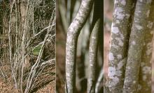 plant habit, bark, winter