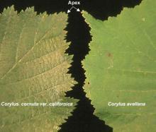 leaf margins, comparison
