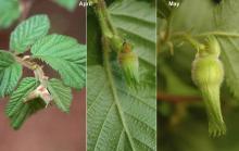 developing fruit, spring